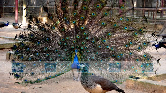 বিশাল রঙিন পেখম ময়ূরের অন্যতম আকর্ষণ। ছবিটি জাতীয় চিড়িয়াখান থেকে তুলেছেন : সোহাগ আশরাফ