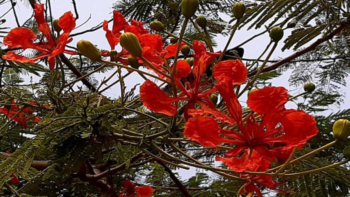 গ্রীষ্মের প্রখর রোদে দৃষ্টি ও মনকে শান্তির পরশ বুলিয়ে দেয় রক্তরাঙা কৃষ্ণচূড়া। ছবি : শাকেরা আরজু