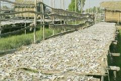 সুন্দরবনের শুটকি পল্লীতে নষ্ট হচ্ছে মাছ