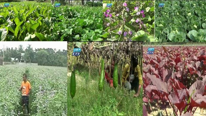 নাটোরে শীতের সবজির বাম্পার ফলন (ভিডিও)