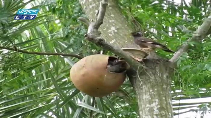 চুয়াডাঙ্গার বেলগাছি এখন পাখির অভয়ারণ্য (ভিডিও)