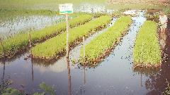 ফেনীতে ভাসমান বীজতলা তৈরিতে কৃষকের আগ্রহ বাড়ছে