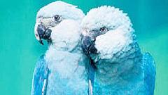 নীল ম্যাকাওকে চেনাতে বেঁচে থাকবে 'ব্লু'