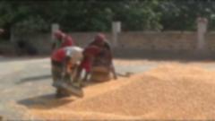 চুয়াডাঙ্গায় ভুট্টা চাষে কৃষকের মুখে হাসি (ভিডিও)