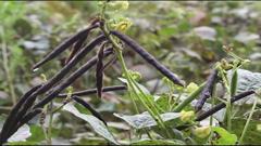 বরগুনায় মুগডালের বাম্পার ফলন (ভিডিও)
