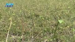 বিপুল পরিমাণ জমির পাট নষ্ট, কৃষকরা দুঃশ্চিন্তায় (ভিডিও)