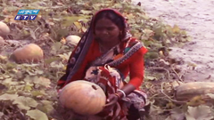 মিষ্টি কুমড়া চাষ করে হতদরিদ্র নারীরা স্বাবলম্বি(ভিডিও)