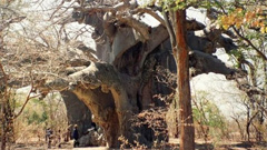 আফ্রিকার হাজার বছরের পুরোনো গাছগুলো মরে যাওয়ার নেপথ্যে