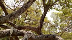 ৭০০ বছরের বটগাছকে বাঁচানোর চেষ্টা স্যালাইন দিয়ে