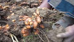 যশোর-ঝিনাইদহে হলুদ চাষে সাবলম্বী হচ্ছে কৃষক (ভিডিও)