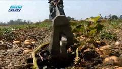 ভোলায় আলু ক্ষেতে পোকার আক্রমণ(ভিডিও)