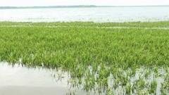 সুনামগঞ্জে তলিয়ে গেছে ৫ হাজার হেক্টর জমির ধান (ভিডিও)
