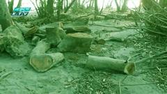 বরগুনার সংরক্ষিত বন কেটে উজাড় (ভিডিও)