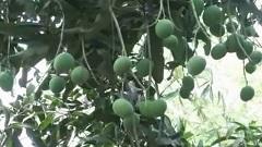 রংপুরে হাড়িভাঙ্গা আমের বাম্পার ফলন (ভিডিও)