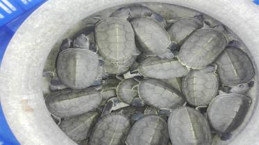 সুন্দরবনে ৩৪টি বাচ্চা ফুটলো 'বাটাগুর বাসকা'র