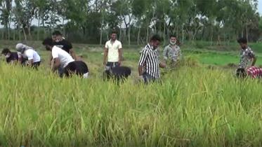 কুমিল্লায় 'আপনার কৃষক' হটলাইনের ফোনে ধান কেটেছে ছাত্রলীগ