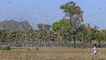 পঙ্গপালের হানায় কাঁপছে ভারতের ৫ রাজ্য