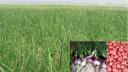 রাজশাহীর পেঁয়াজ চাহিদা মেটাবে রমজানে