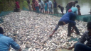 আখাউড়ায় পুকুরে বিষ দিয়ে ১২ লাখ টাকার মাছ নিধন