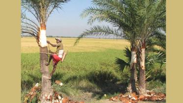 যশোরের বেনাপোল-শার্শায় খেজুরের রস সংগ্রহে ব্যস্ত গাছিরা