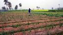 কলারোয়ায় মাঠ থেকে চুরি হচ্ছে পিয়াজ, দিশেহারা কৃষক