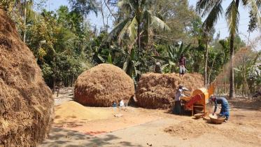 নোয়াখালীতে বিপাকে কৃষক, দাম না পাওয়ায় খেতেই ধানের গাদা