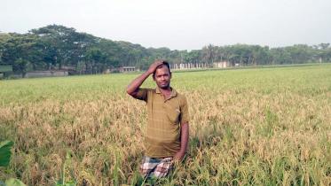 কলারোয়ায় ধানে নেক ব্লাস্ট রোগ: কৃষক দিশেহারা