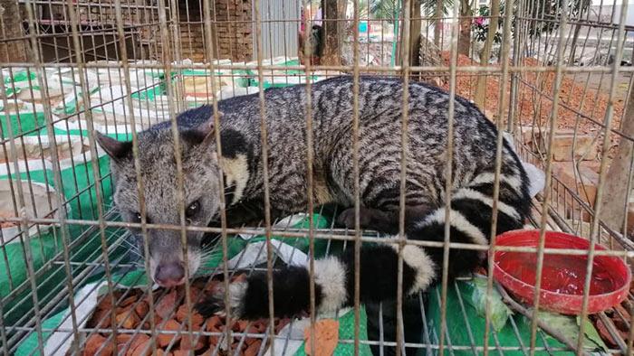 আশুলিয়ায় বিরল প্রজাতির গন্ধগকুল উদ্ধার