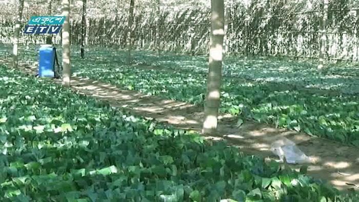 শেরপুরের সীমান্তবর্তী অঞ্চলে বাণিজ্যিক চা চাষ (ভিডিও)