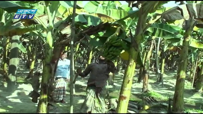 গাজীপুরের কাপাসিয়ায় বাড়ছে কলা চাষ (ভিডিও)