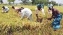 সুনামগঞ্জে আমনের ভালো ফলনে কৃষকের মুখে হাঁসি
