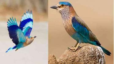 চোখ জুড়ানো পাখি নীলকণ্ঠ