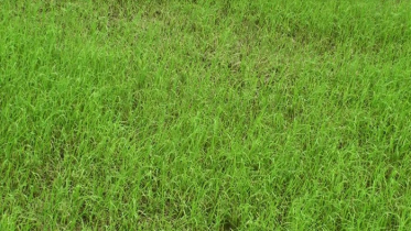 সুনামগঞ্জে আউশ ও আমন চাষিরা সবচেয়ে বেশি ক্ষতিগ্রস্ত