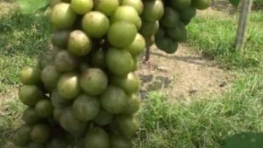 আঙ্গুর চাষ করে সফল চুয়াডাঙ্গার কয়েকজন যুবক