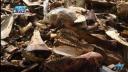 কুরবানির পশুর অঙ্গ নিয়ে ব্যবসায়ীরা বিপাকে
