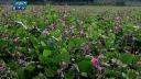 আগাম জাতের শিম চাষে লাভবান পাবনার কৃষকরা (ভিডিও)