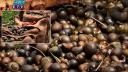 চলনবিলে চলছে শামুক নিধনের মহোৎসব (ভিডিও)