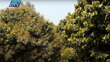 এবার মুকুল নেই বোম্বাই জাতের লিচু গাছে (ভিডিও)