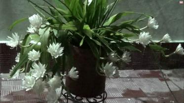 পটুয়াখালীতে এক গাছে ২৯টি নাইটকুইন ফুল