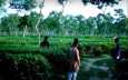 স্বাস্থ্যবিধি মেনে চা বাগানে ঘুরে বেড়াচ্ছেন ভ্রমণপিপাসুরা (ভিডিও)