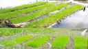 ঝালকাঠিতে কৃষকের মনে আশা জাগাচ্ছে 'ভাসমান বীজতলা'
