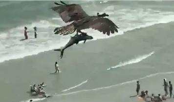 বিশাল এক মাছ নিয়ে উড়ছে পাখি! (ভিডিও)