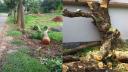 শ্রীপুরে শতবর্ষী গাছ কর্তন, এলাকাবাসীর ক্ষোভ