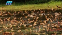অতিথি পাখির কলতানে মুখর জাবির ক্যাম্পাস (ভিডিও)