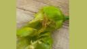 নাগা মরিচের বাম্পার ফলন, পোকার আক্রমণে দুশ্চিন্তায় কৃষক