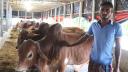 রাজশাহীতে অবিক্রিত ৪৪ হাজার গরু, ক্ষতির মুখে খামারিরা