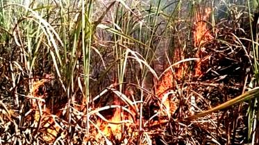 লালপুরে আগুনে পুড়লো ১৫ বিঘা জমির আখ