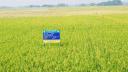 শার্শায় উচ্চ ফলনশীল ব্রি-৮৭ ধানের বাণিজ্যিক চাষ শুরু