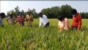 মৌলভীবাজারে ৩ হাজার হেক্টর অনাবাদি জমিতে আবাদ