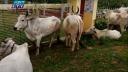 সীমান্ত দিয়ে পণ্য আনা-নেয়া বন্ধ থাকলেও আসছে গরু (ভিডিও)